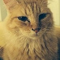Domestic Mediumhair Cat for adoption in Odessa, Texas - Tuff