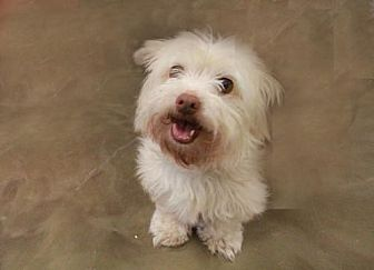 Westie, West Highland White Terrier Mix Dog for adoption in Morganville, New Jersey - Bella (Westie Mix)