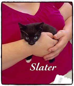 Domestic Shorthair Kitten for adoption in Dillon, South Carolina - Slater