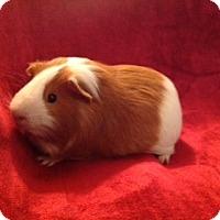 Adopt A Pet :: Yoda - Williston, FL