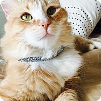 Adopt A Pet :: Summer Sunshine - Arlington/Ft Worth, TX
