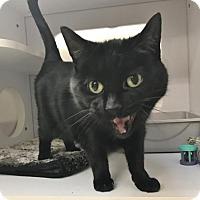 Adopt A Pet :: AJ - Shaftsbury, VT