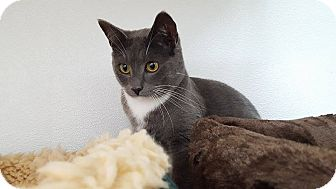 Domestic Shorthair Cat for adoption in San Carlos, California - Merino