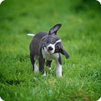 Adopt A Pet :: Malcom - New York, NY