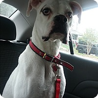 Adopt A Pet :: Abby (COURTESY POST) - Baltimore, MD