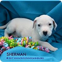 Adopt A Pet :: Sherman - Simi Valley, CA