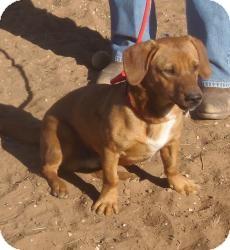 Corgi/Beagle Mix Dog for adoption in Post, Texas - Gus