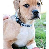 Adopt A Pet :: Olive - Haverhill, MA