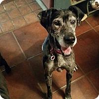 Adopt A Pet :: Aubrey - Albuquerque, NM