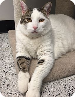 Domestic Shorthair Cat for adoption in Palatine, Illinois - Chelsea