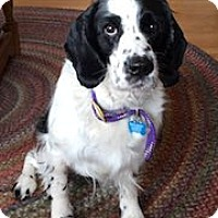Adopt A Pet :: Bella - Minneapolis, MN