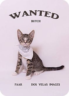 Domestic Shorthair Kitten for adoption in Riverside, California - Butch Cassidy