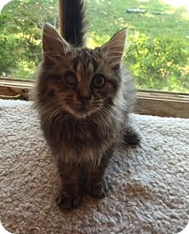 Domestic Longhair Cat for adoption in Mebane, North Carolina - Venkman