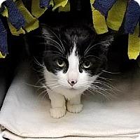Adopt A Pet :: Safari - Westminster, CA