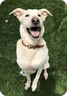 Shepherd (Unknown Type)/Labrador Retriever Mix Dog for adoption in Raytown, Missouri - Virgil