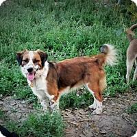 Adopt A Pet :: Brodie - San Antonio, TX