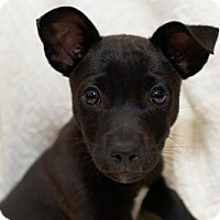 Adopt A Pet :: Baby Equinox - Rockville, MD