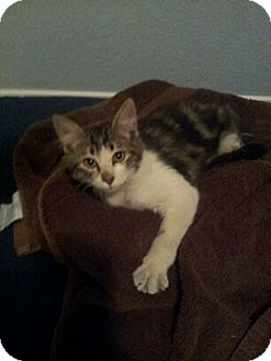 Maine Coon Kitten for adoption in Scottsdale, Arizona - Gatsby- courtesy post