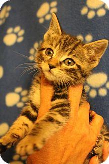 Domestic Shorthair Kitten for adoption in Santa Monica, California - Cassidy