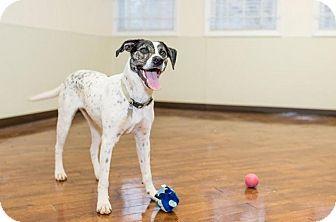 Spaniel (Unknown Type)/Plott Hound Mix Puppy for adoption in Charlotte, North Carolina - Pepper
