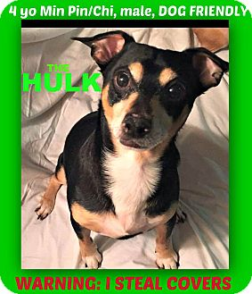 Miniature Pinscher/Chihuahua Mix Dog for adoption in Wantagh, New York - Hulk