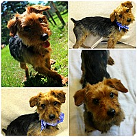 Adopt A Pet :: Simon - Forked River, NJ