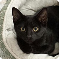 Adopt A Pet :: Licorice - Knoxville, TN