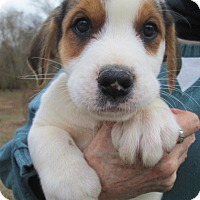 Adopt A Pet :: BISCUIT - Williston Park, NY