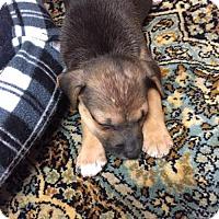 Adopt A Pet :: PUPPY-Sara - DeLand, FL