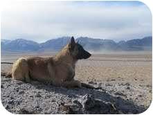 Belgian Malinois Dog for adoption in Hamilton, Montana - Mogie