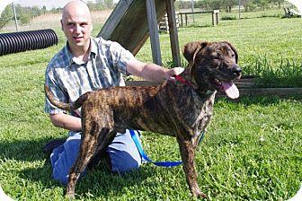 Mastiff Mix Puppy for adoption in Elyria, Ohio - Sampson