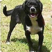 Adopt A Pet :: Scout - Little River, SC