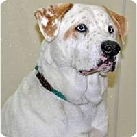 Adopt A Pet :: Patriot - Port Washington, NY