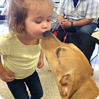 Golden Retriever/Labrador Retriever Mix Puppy for adoption in Silver Lake, Wisconsin - Maci Marie