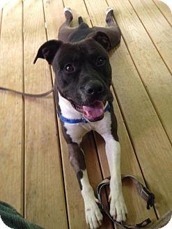 Pit Bull Terrier Mix Dog for adoption in Charlotte, North Carolina - Deuce - COURTESY LISTING