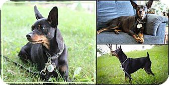 Miniature Pinscher Mix Dog for adoption in Cambridge, Ontario - Kaiogi