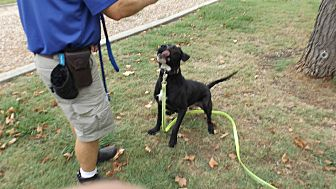 Labrador Retriever/Mastiff Mix Dog for adoption in Dallas, Texas - MAGNUM