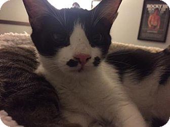 Domestic Shorthair Cat for adoption in Glendale, Arizona - Minnie