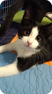 Domestic Shorthair Kitten for adoption in Ortonville, Michigan - Michael Angelo