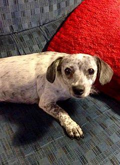 Dachshund Mix Dog for adoption in Colton, California - BLUE