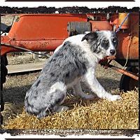 Adopt A Pet :: Gunner - Parker, KS