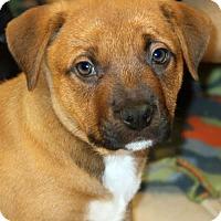 Adopt A Pet :: Hazel - Towson, MD