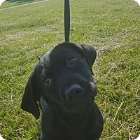 Adopt A Pet :: Raider - Hawk Point, MO