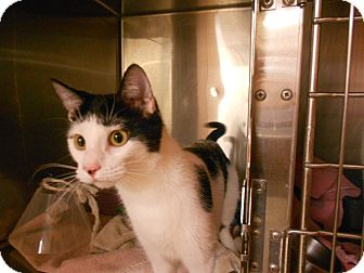 Domestic Shorthair Kitten for adoption in Maywood, New Jersey - Ms. Moo