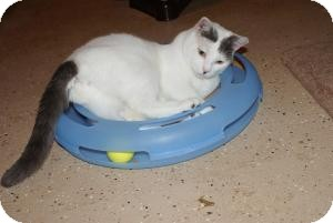 Domestic Shorthair Cat for adoption in Barnegat, New Jersey - Shadow