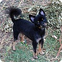 Adopt A Pet :: Jace - Plano, TX