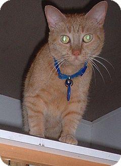 Domestic Shorthair Cat for adoption in Sarasota, Florida - Sadie