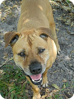 Shar Pei Mix Dog for adoption in Jupiter, Florida - Roscoe