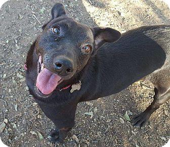 Dachshund Mix Dog for adoption in Sacramento, California - Ringo!