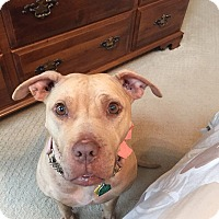 American Pit Bull Terrier Mix Dog for adoption in simpsonville, South Carolina - Kyah